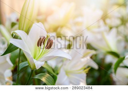 Close Up White Lilly Blooming In The Garden., Flower Background