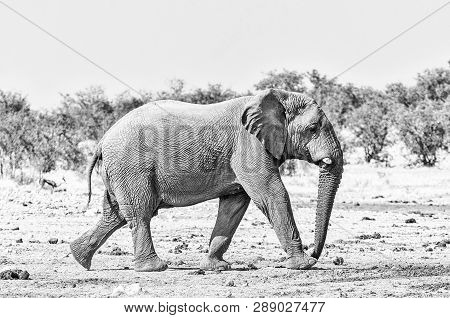 An African Elephant, Loxodonta Africana, Walking In Northern Namibia. Monochrome
