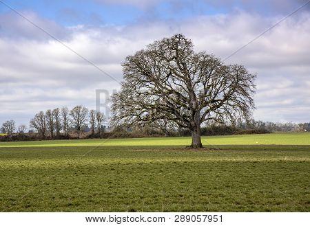 Large Tree In A Field Willamette Valley Oregon.