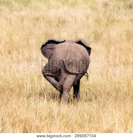 Rear view of a baby elephant using his back leg to scratch the other. Comical calf in the long yellow grass of the Masai Mara, Kenya.
