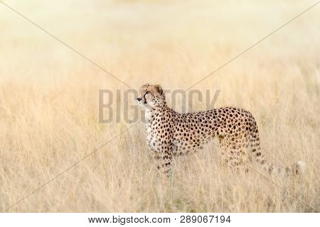 Beautiful adult cheetah in the long grass of the Masai Mara, Kenya. This sleek big cat is standing in profile in early morning sunlight.