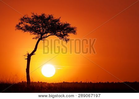 Acacia tree and the setting sun in the Masai Mara. Silhouette against orange sunset in Kenya, with space for text.