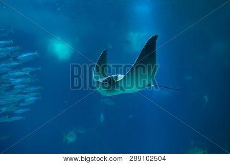 Common eagle ray (Myliobatis aquila). Marine fish.