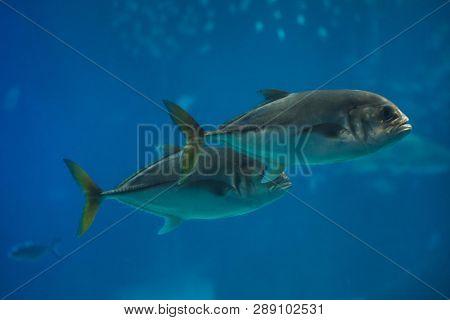 Pompano (Trachinotus ovatus). Marine fish.
