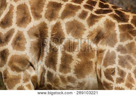 Angolan giraffe (Giraffa camelopardalis angolensis), also known as Namibian giraffe. Skin texture.