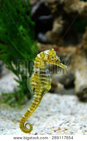 Thorny Seahorse Cute Sea Animal / Beautiful Yellow Sea Horse Swimming Underwater Ocean