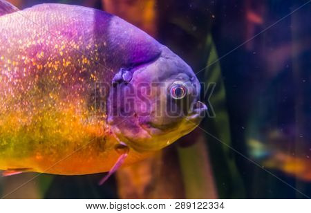 The Face Of A Red Bellied Piranha, Beautiful Fish With Golden Glittery Scales, Tropical Fish From Th