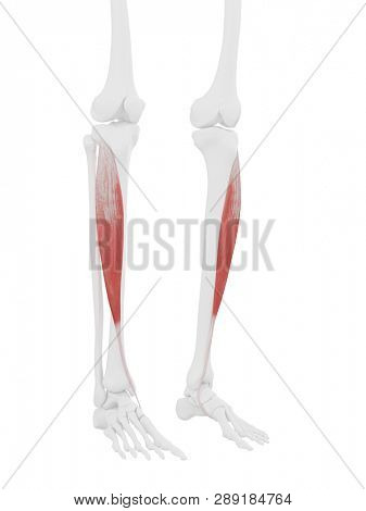 3d rendered medically accurate illustration of the Tibialis Anterior