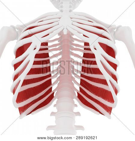 3d rendered medically accurate illustration of the Innermost Intercostals