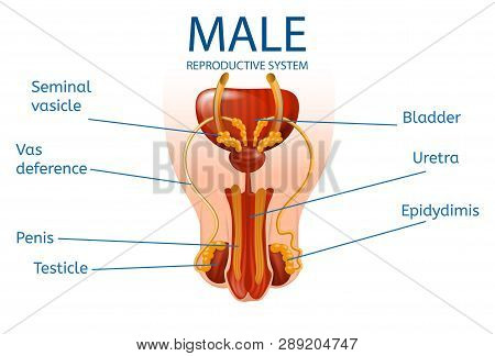 Male Reproductive System. Detailed Mans Genitals With Designation Of All Important Components And Pa