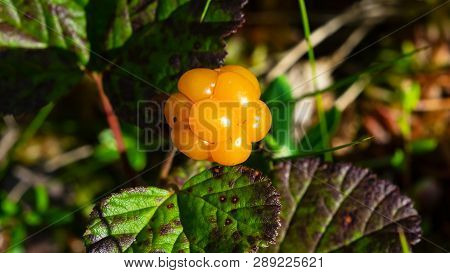 Ripe Cloudberry Or Rubus Chamaemorus At Swamp In Wild, Berry Macro, Selective Focus, Shallow Dof