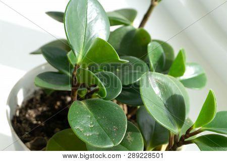 Crassula Ovata Jade Plant,money Plant Succulent Plant Close Up.selective Focus.floral Background