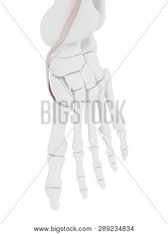 3d rendered medically accurate illustration of the Tibialis Anterior tendon