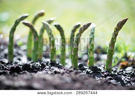 Young green asparagus sprout in garden growth closeup