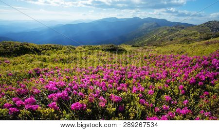 Pink rhododendron flowers covered mountains meadow in summer time
