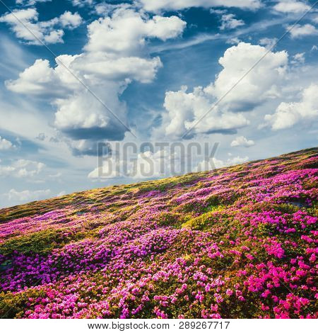 Awesome summer sunny landscape with fluffy clouds in blue sky and blooming pink rhododendron flowers covered mountains hills around