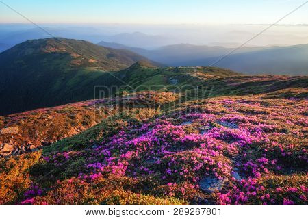 Mountains landscape with beautiful pink rhododendron flowers
