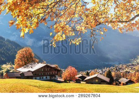 Picturesque autumn landscape with yellow leaves and wooden houses in Grindelwald village in Swiss Alps