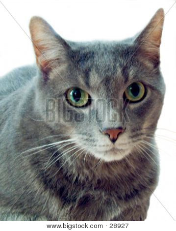 poster of Russian Blue Cat, Mixed Breed. Isolated on White background.