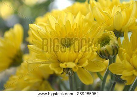 Yellow Chrysanthemums Flower, Chrysanthemum Sp., From Thailand