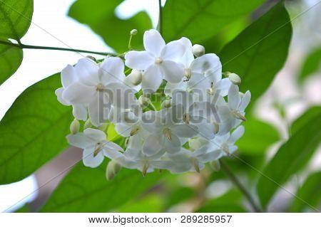 Water Jasmine, Wrightia Religiosa, Central Of Thailand