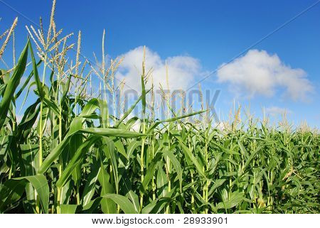 healthy maize on the field against blue sky