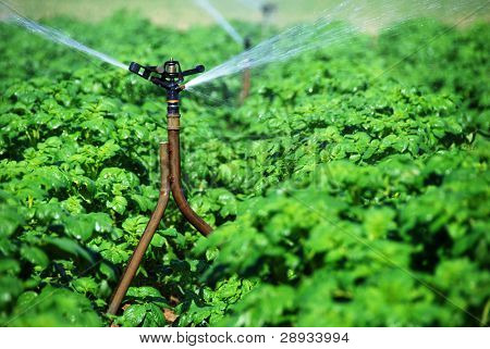 Irrigation sprinklers watering a potato field