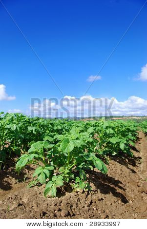 Healthy young potato plants on the field