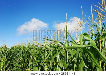 maize on the field