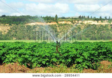 Irrigation sprinkler watering a potato field