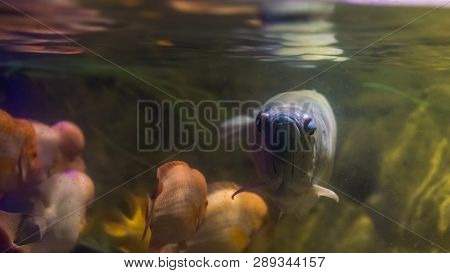 Closeup Of The Face Of A Silver Arowana, Tropical Long Fish Swimming In The Water, Popular Ornamenta
