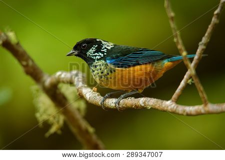 Spangle-cheeked Tanager - Tangara Dowii Passerine Bird, Endemic Resident Breeder In The Highlands Of