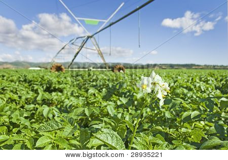 Healthy young potato crop with irrigation pivot system in the background