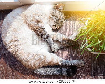 Beige Cat Sleeping At The Sun Spot With A Bunch Of Fresh Grass