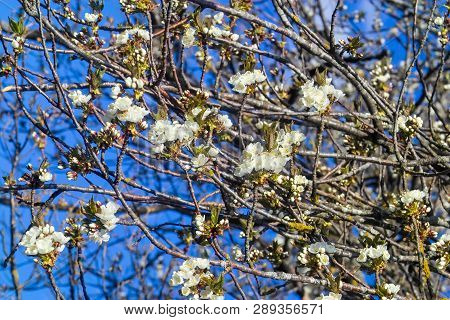 Fruit Tree Blossom: Sour Cherry (prunus Cerasus) Blossoms In Spring, Cherry Tree In Bloom