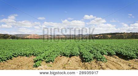 Green potato field with beautiful sky