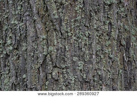 Gray Green Wooden Texture Of Dry Bark On A Tree
