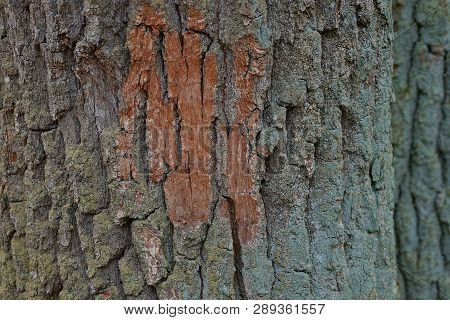 Green Brown Natural Background Of Bark On A Big Tree
