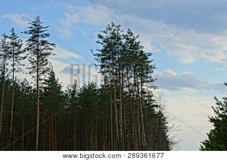 A Row Of Tall Green Pine Trees Against The Sky And Clouds