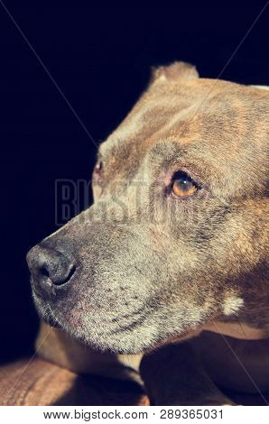 Staffordshire Terrier Dog On A Black Background