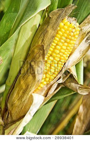 a Ripe dry maize cob still on the plant