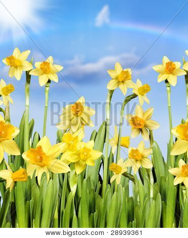 Yellow daffodils against a blue sky with rainbow and sun
