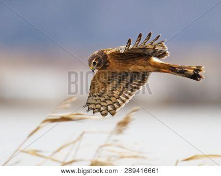 A Northern Harrier Hawk In Flight Wings Spread