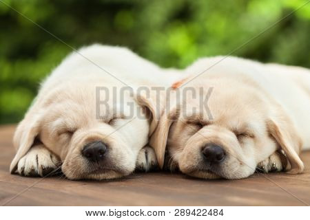 Cute labrador puppies sleeping on wooden deck - on green foliage background, close up