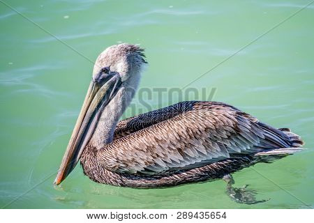 A Brown Pelican Swimming Around In Brandeton, Florida