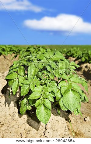 Close up of potatoes on the field
