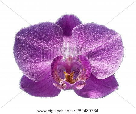 Beautiful Large Flower Orchid In Water Drops Isolated On White Background