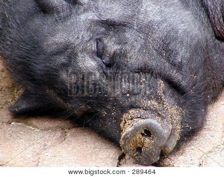 Sleeping Pig - Head Shot