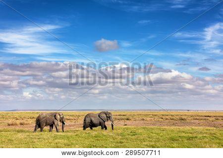 Elephant walk across the grasslands of Amboseli National Park, Kenya.  Wide open space with big blue sky cloudscape.