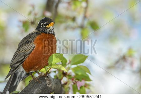 American Robin on a cherry tree during Cherry Blossom Festival in Washington DC, United States of America